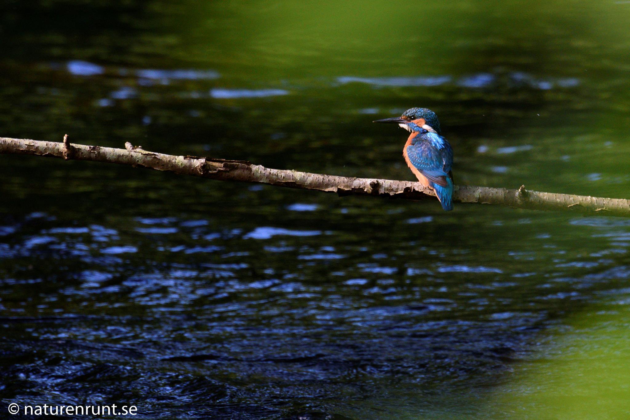 Kungsfiskare - På favoritpinnen