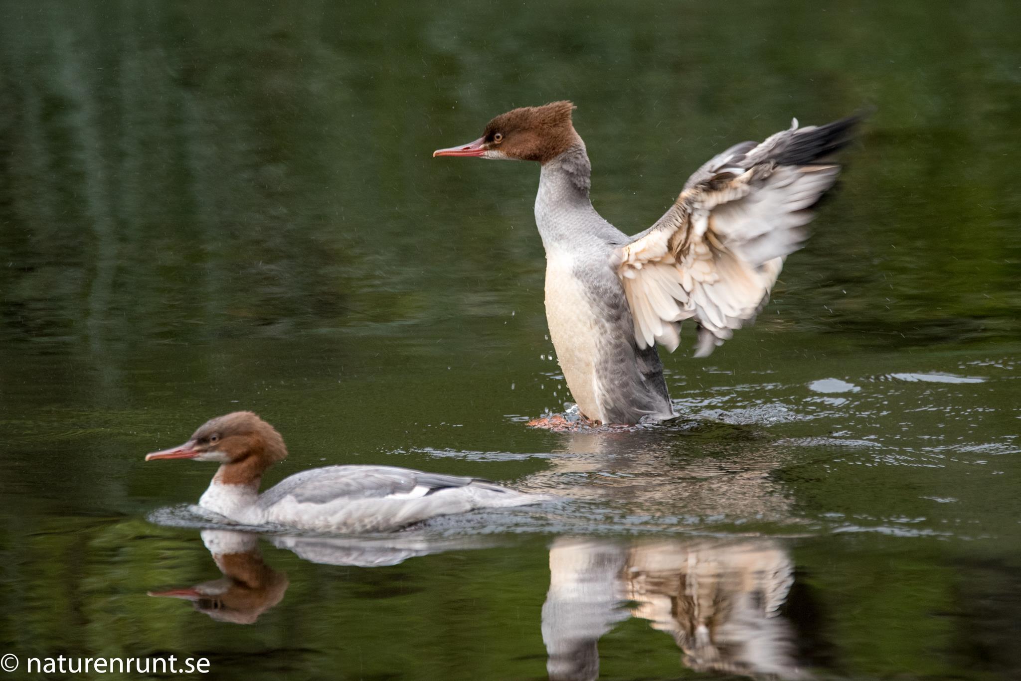 Storskrake - ungfåglar