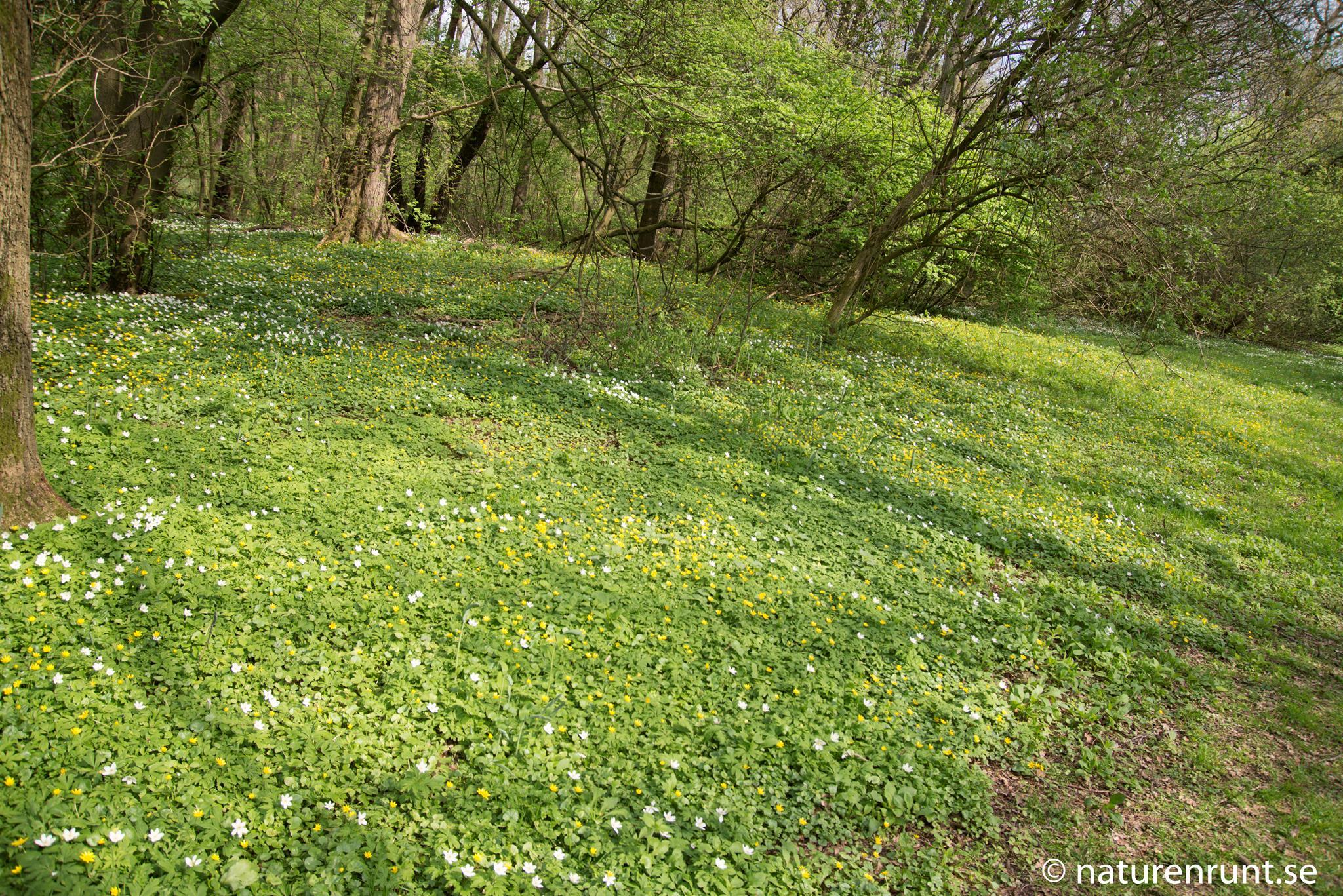 Rya skog - Våraspekt med vitsippor och svalört
