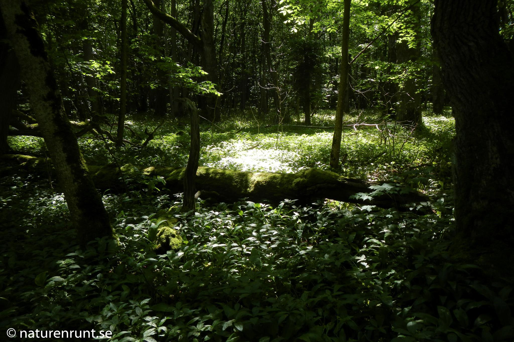Bokskog med ramslök och skogsbingel - Munkängarna vid Råbäck