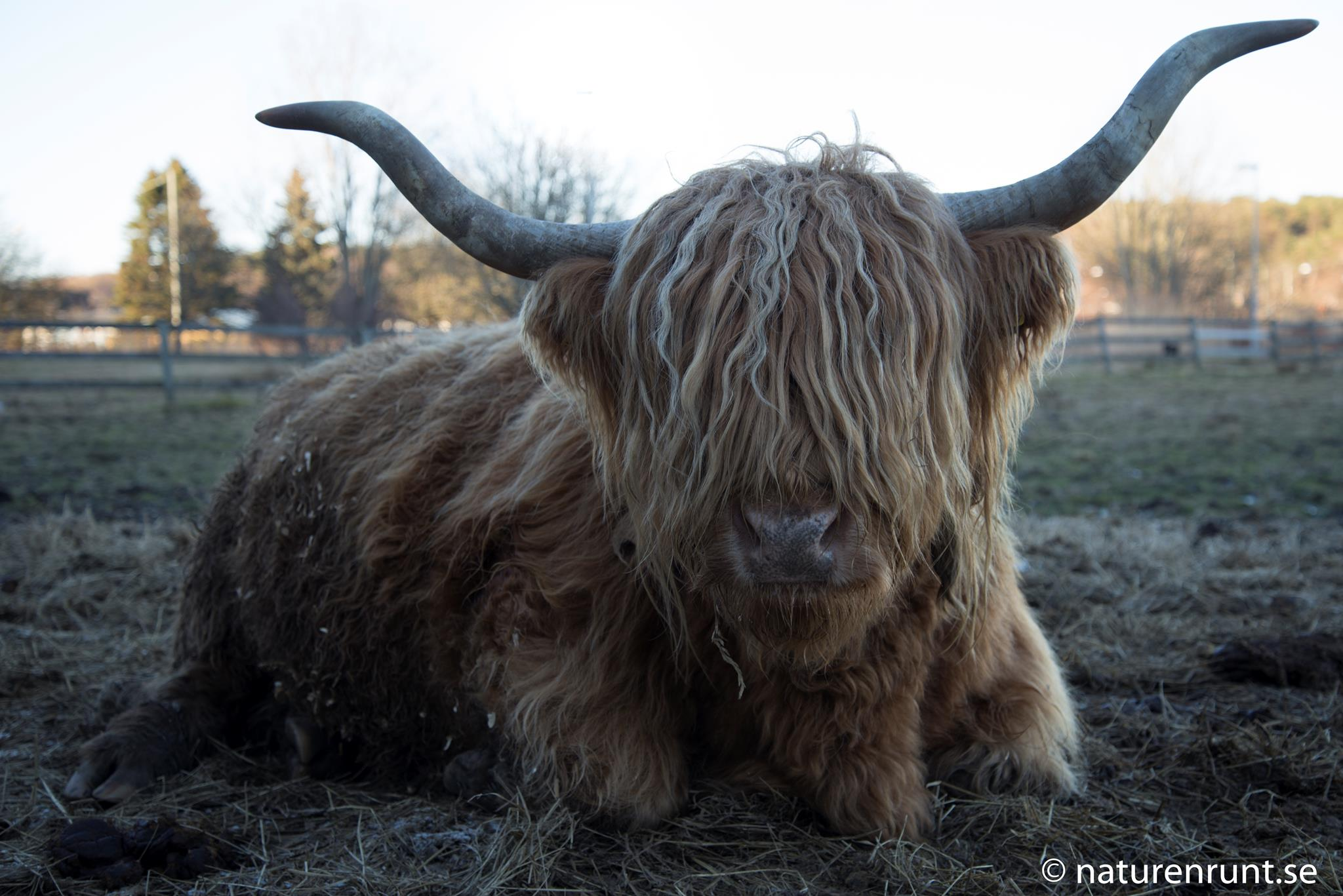 Highland - Cattle