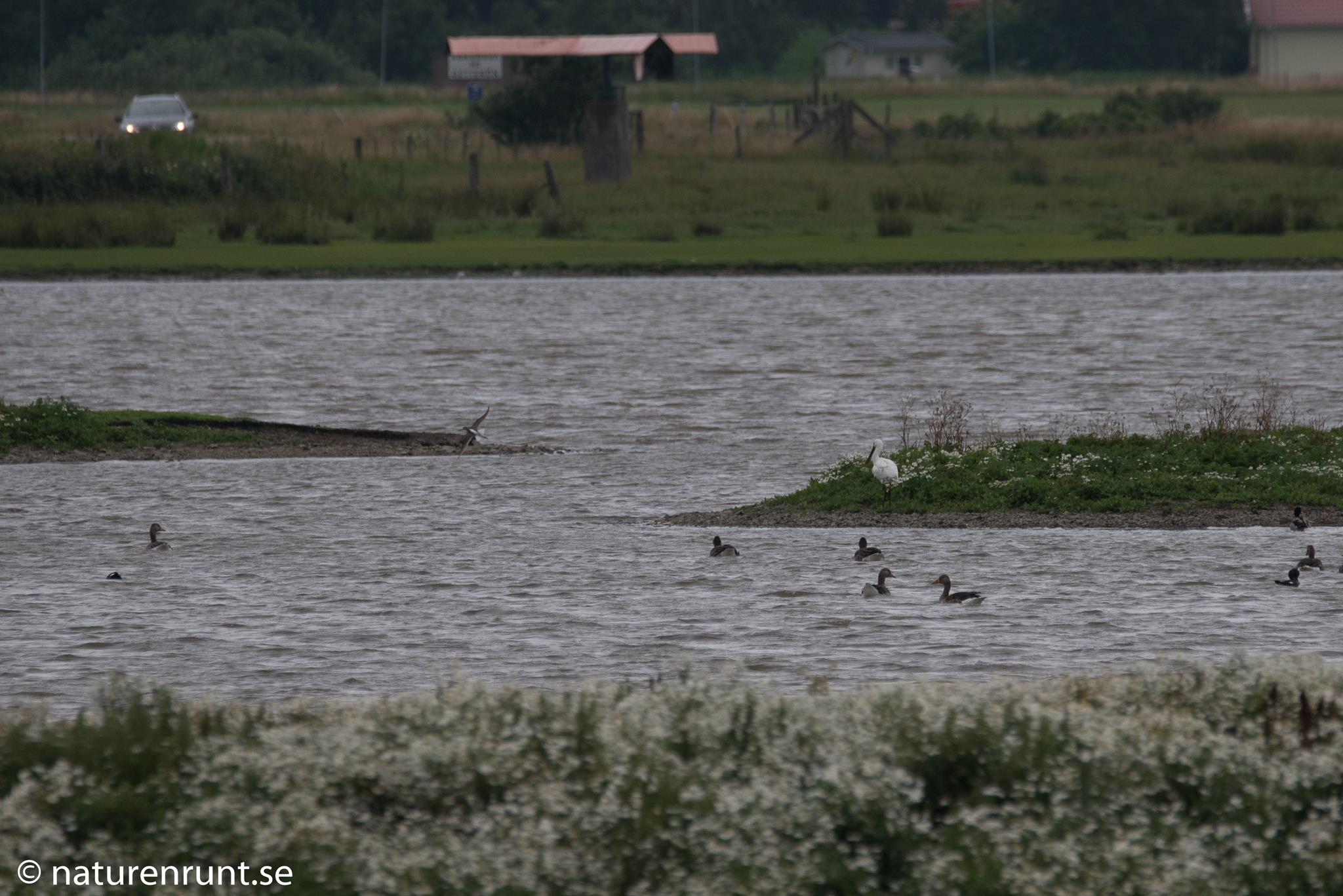 Skedstork - Vilar på ön i stora dammen