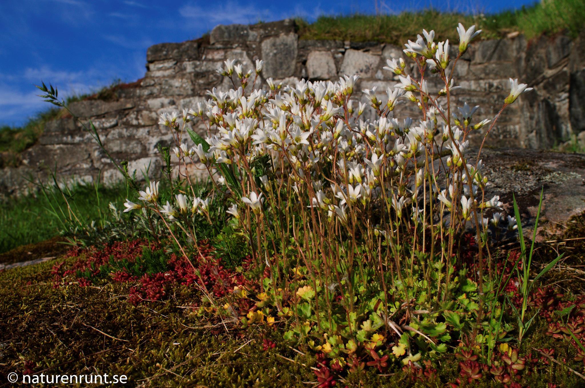 Mandelblom - Knölbräcka, Saxifraga granulata