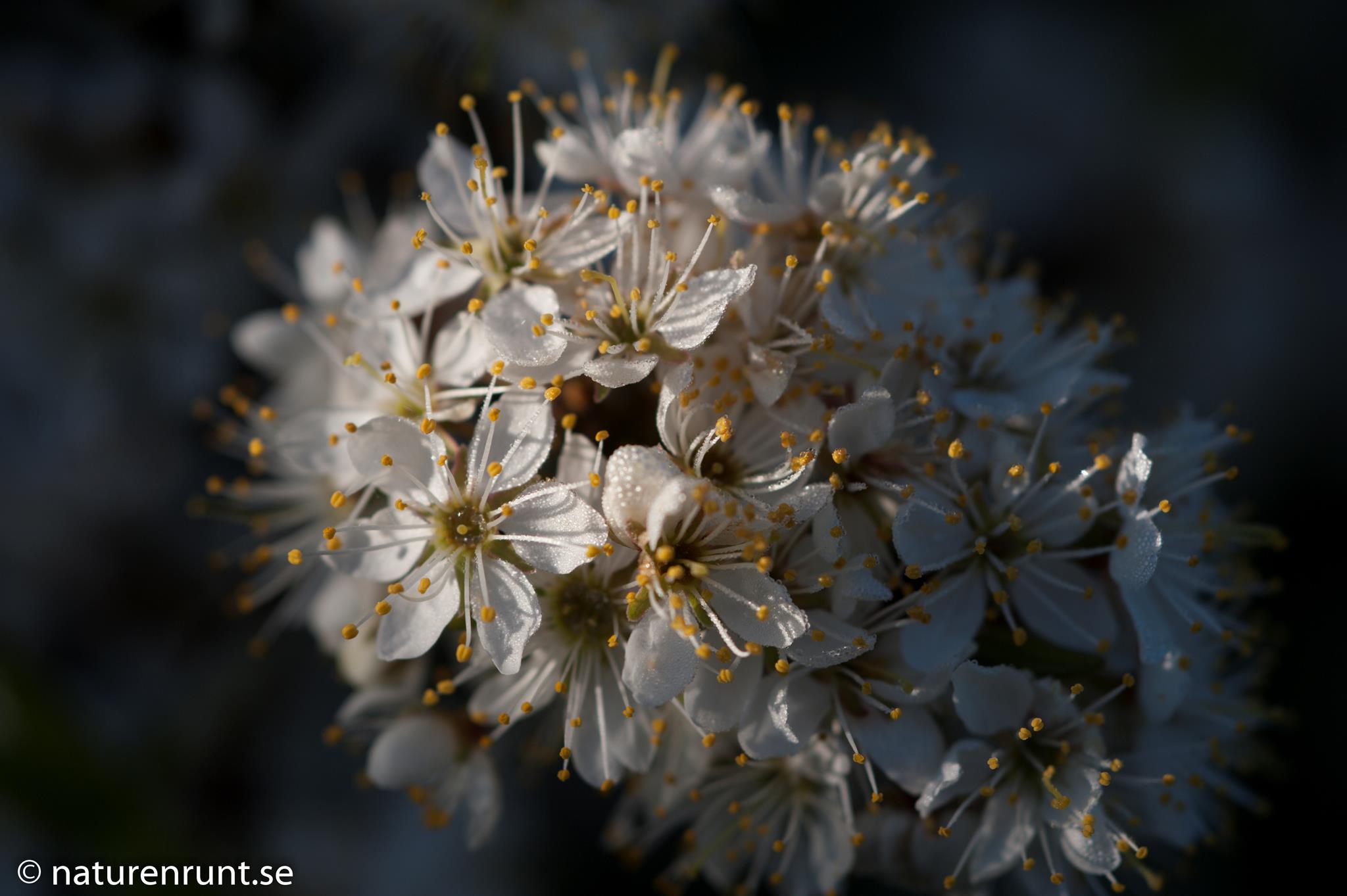 Slån - Blommande slån, Prunus spinosa