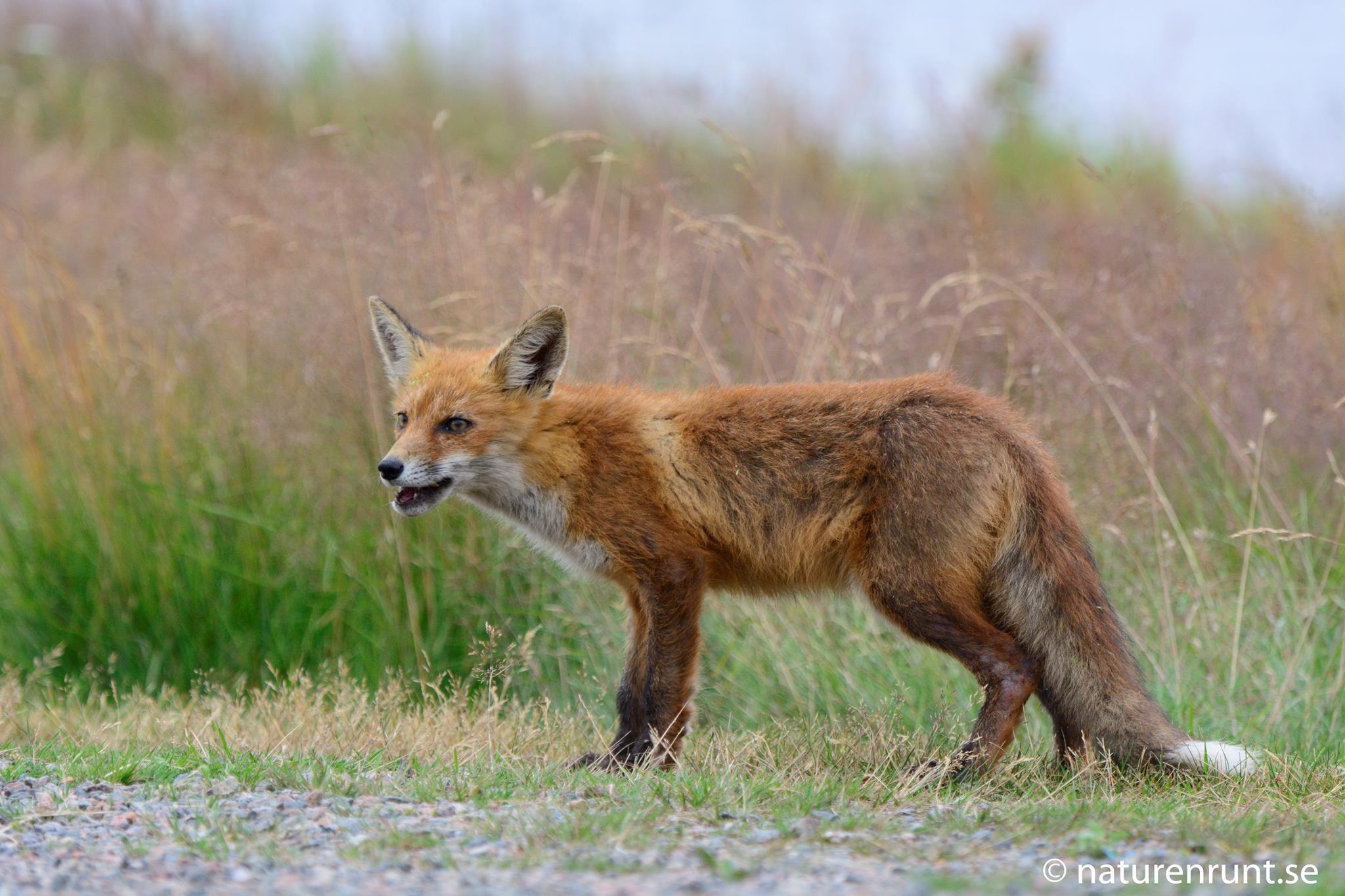 Räv - En morgonpigg räv som hittade en övergiven smörgås
